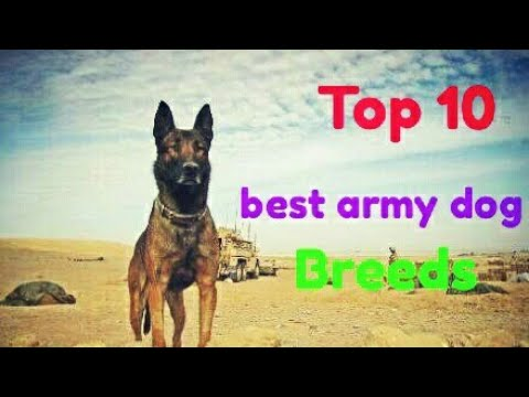 Top 10 best army dog breeds | Dog Zone India|