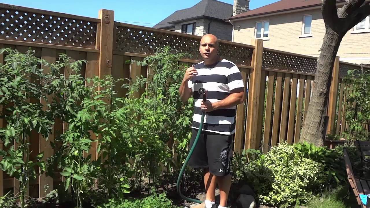 How often to water the tomatoes in the greenhouse 51