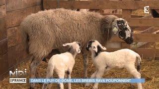 ANIMAUX & NATURE : Dans le Puy-De-Dôme, les brebis Rava pouponnent