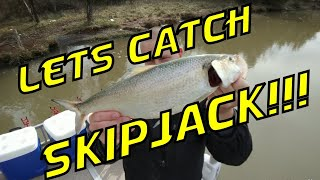 HOW TO CATCH SKIPJACK Tips, Tricks, Secrets to Catch Skipjack. Let's catch Skipjack
