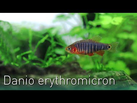 Danio erythromicron | Der Querstreifen-Zwergbärbling | Nano Fisch Portrait