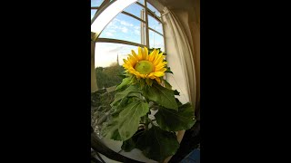 My Sunflower Timelapse: 15/3/10 - 24/7/10 - from Seed to Seed