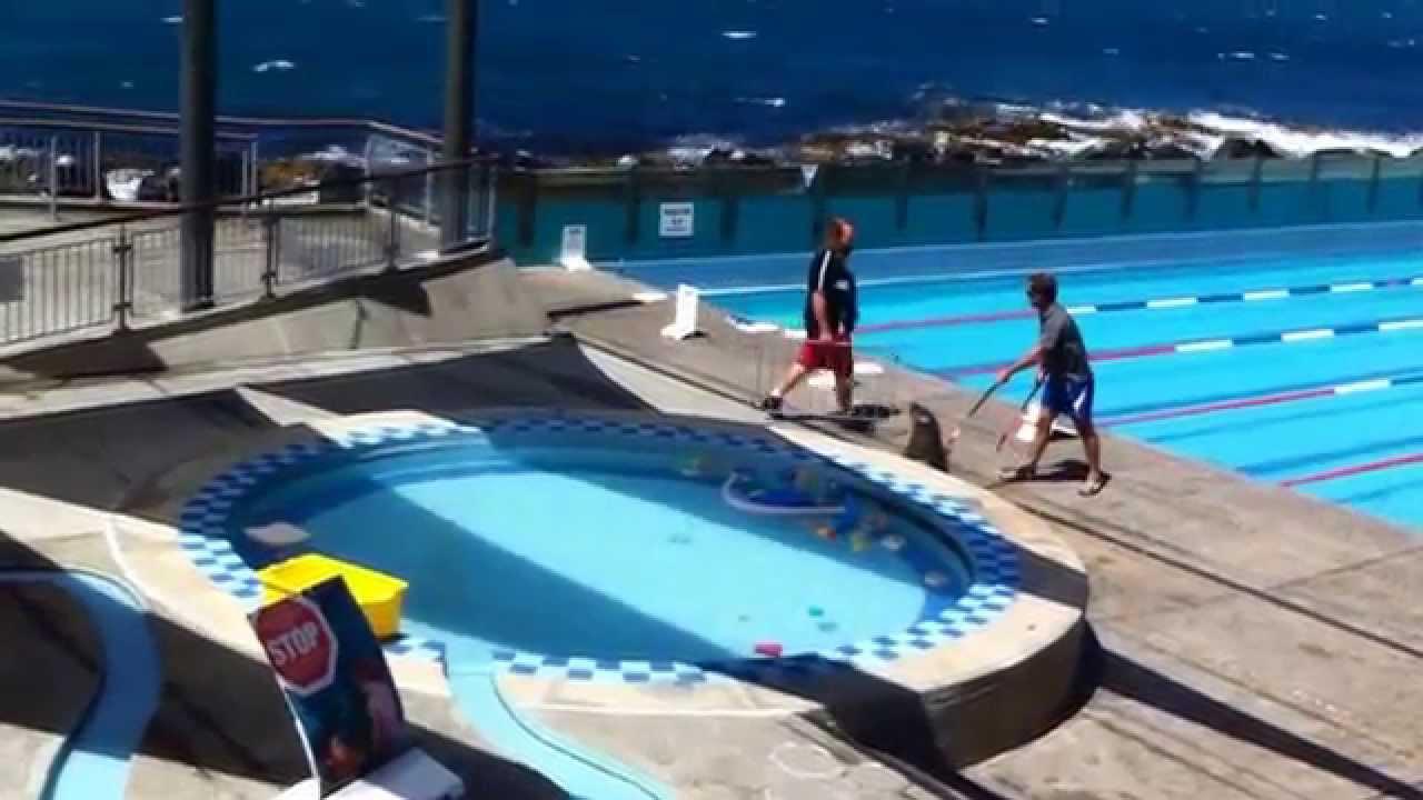 Public Swimming Pool wild sea lion gatecrashes public swimming pool! - youtube