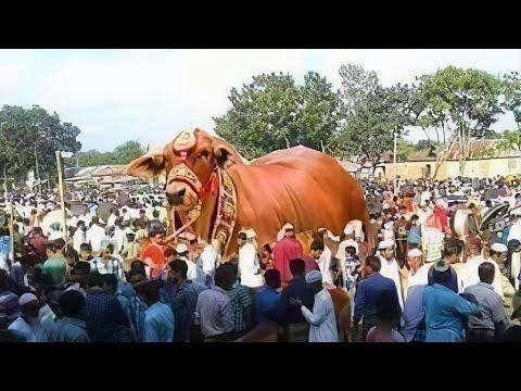 10 Biggest Bulls in the World