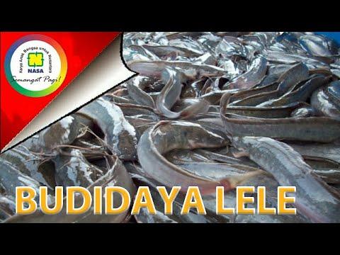 Vitamin Ikan Lele Agar Cepat Besar Youtube