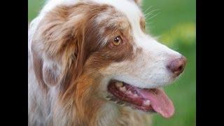 Австралийская овчарка. Все о собаках(Австралийская овчарка. Все о собаках., 2013-10-06T21:27:22.000Z)