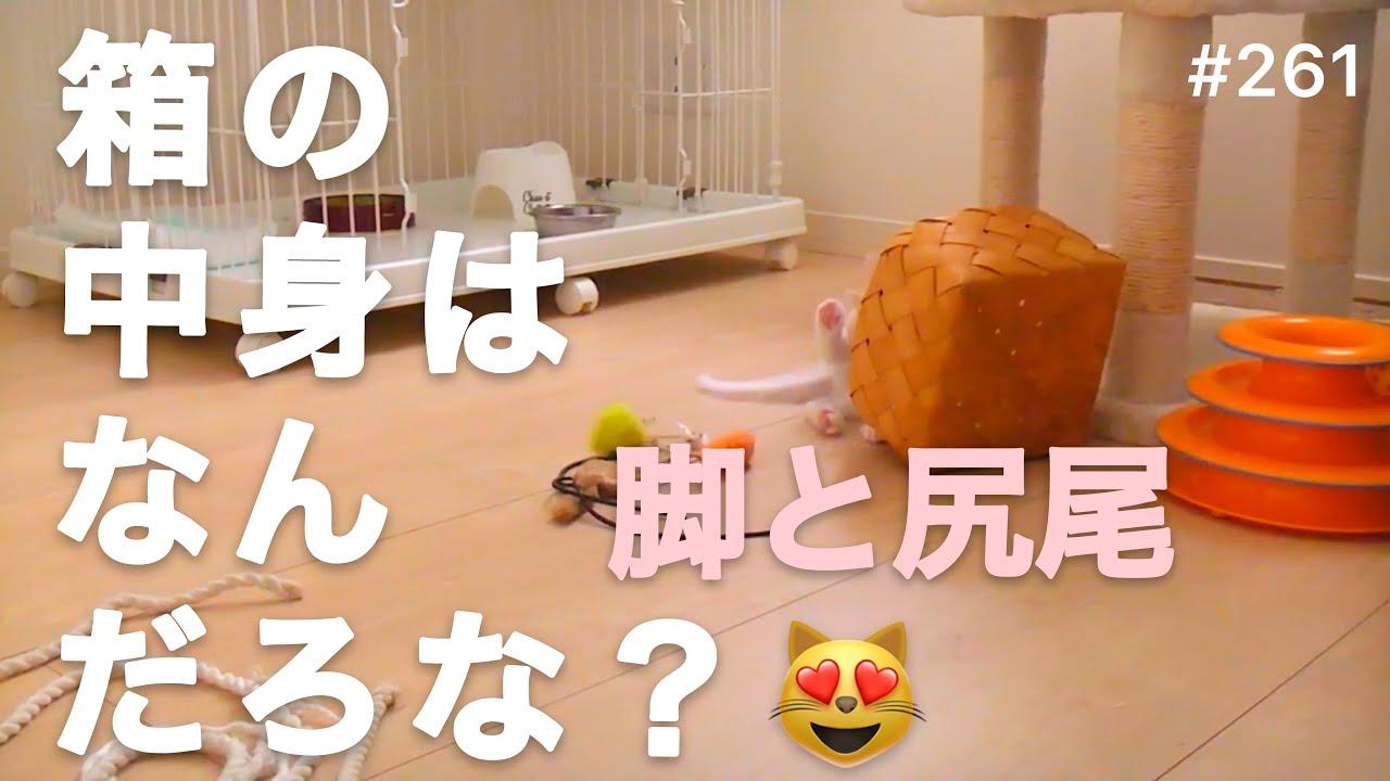 子猫の日常動画 261 箱の中身はなんだろな? 見えてる脚と尻尾がヒント😻 すぐに答えがわかります^ ^