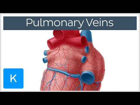 Left and Right Pulmonary Veins - Anatomy & Function - Human