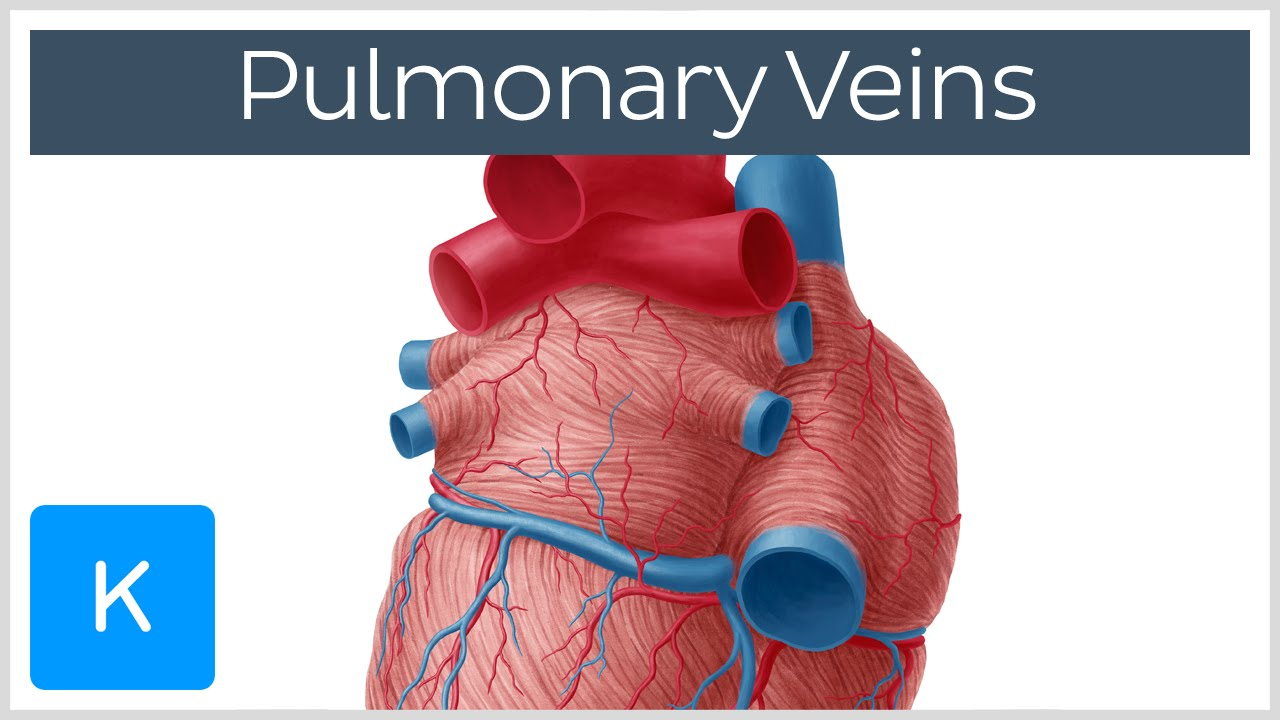 Pulmonary Veins Location Function Human Anatomy Kenhub Youtube