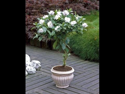 How To Grow Gandhraj Care And Tips Gardenia Flower Plant Youtube