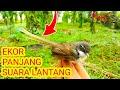 Ekor Panjang Suara Lantang Pikat Burung Cigun  Mp3 - Mp4 Download