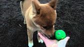Купить щенка шиба ину можно как в питомнике, так и у частных заводчиков. Средняя цена на породистого щенка этой породы составляет порядка 2000.