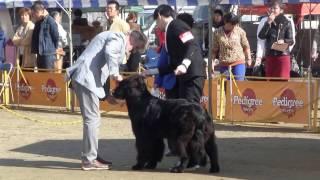2016年11月11日開催 北九州門司港愛犬クラブ展 ニューファンドランド単...