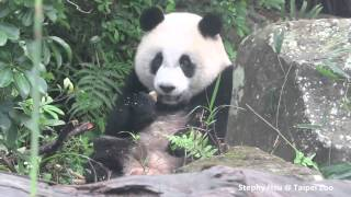 2014/11/14 圓仔下樹吃窩窩頭 Giant Panda Yuan Zai climbs down the tree and eats the steamed bun