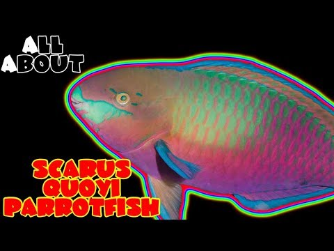 All About The Scarus Quoyi Parrot Fish Or Greenblotch