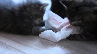 Kocięta Norweskie Leśne - miot O - Ofelia i Olgierd walka o ręcznik papierowy