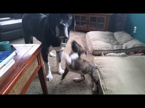 Super Patient Dog Lets Puppy Play