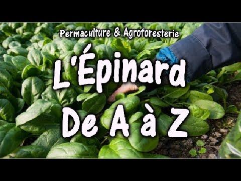 l'Épinard-de-a-à-z-au-jardin-potager-en-permaculture-semis-plantation-documentaire-nature
