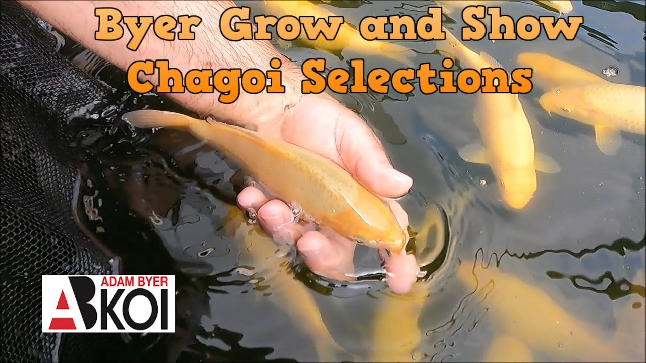 Chagoi Selections for Grow and Show Event - Byer Koi Farm
