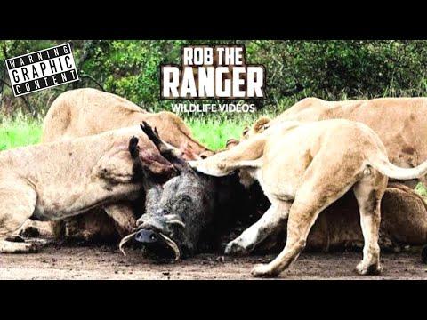 Lions With A Warthog | Incredible Maasai Mara Lion Action