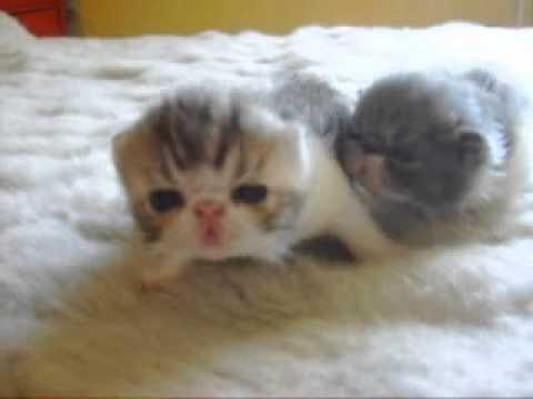 gatos exoticos bebes del a brujo