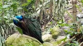 #павлин в парке птиц  #КуалаЛумпур