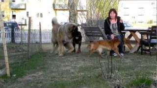 Dexter One Big Leonberger Dog!!!