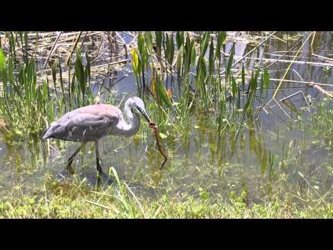 Great Blue Heron with Prey. Viera Wetlands.