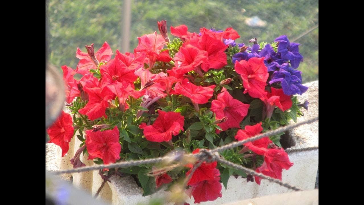 How To Collect Petunia Seeds
