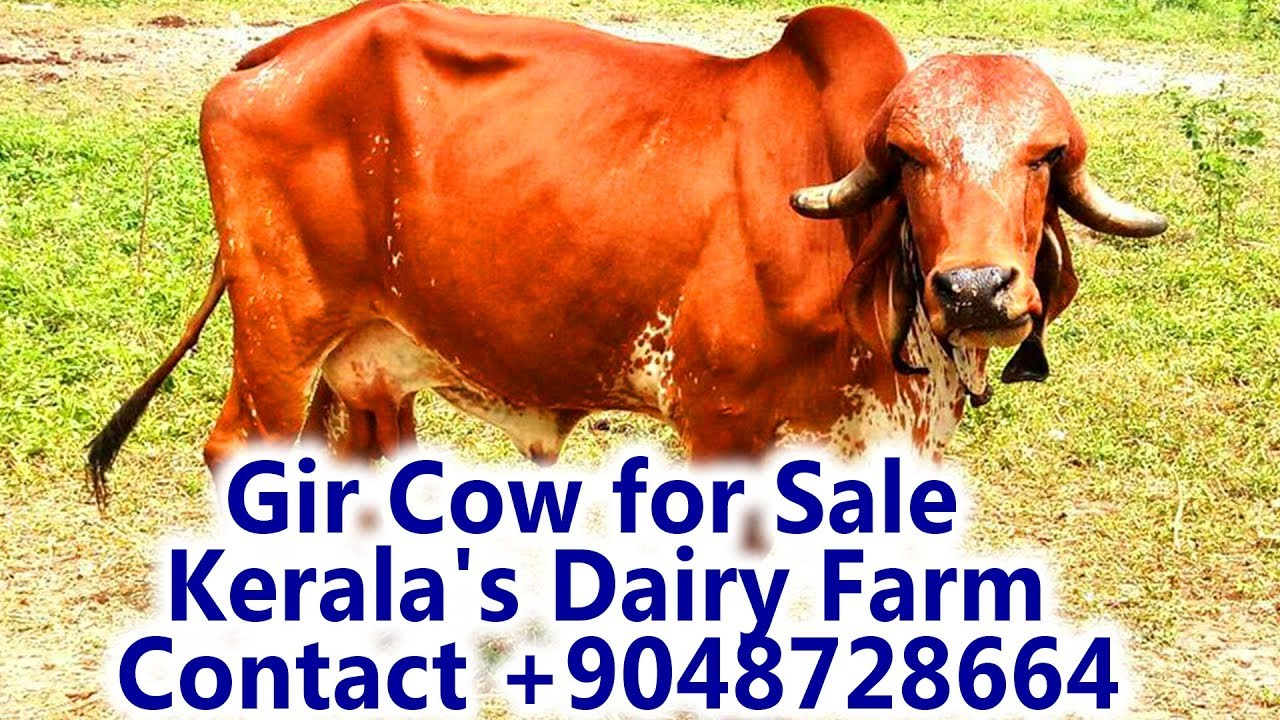 Cow for Sale|Gir Cow for Sale in Kerala's Dairy Farm Contact +9048728664