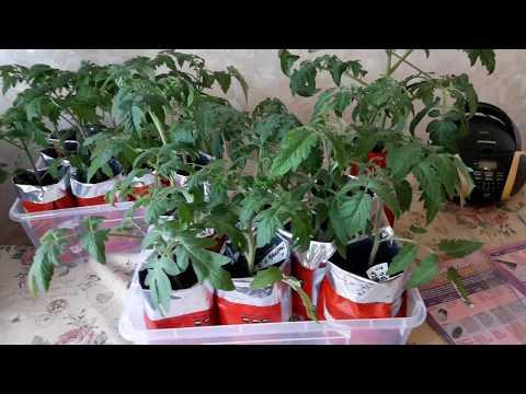 Вопрос: Как правильно досвечивать фитолампой рассаду перцев, помидор в марте?