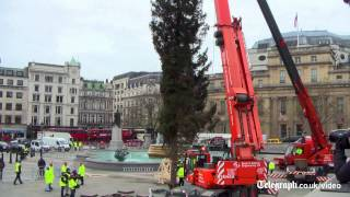Trafalgar Square Christmas tree raised