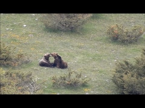 Pair of Bears Flirting In Wild
