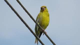 Как птица Зеленушка на проводе чудесно поёт. 🎼🐦😍👍