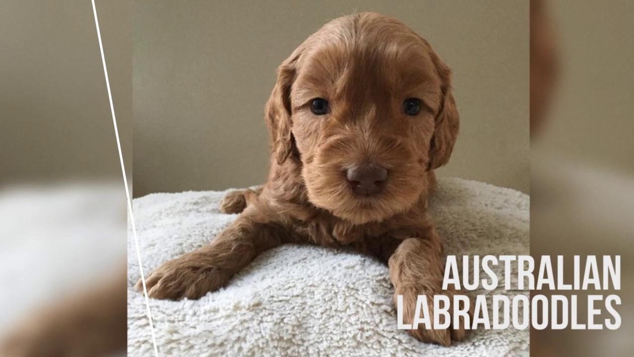labradoodle puppies |  Rose Country Labradoodles Alberta Canada