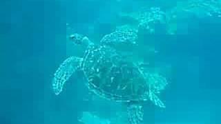 Green Turtle Thumbnail