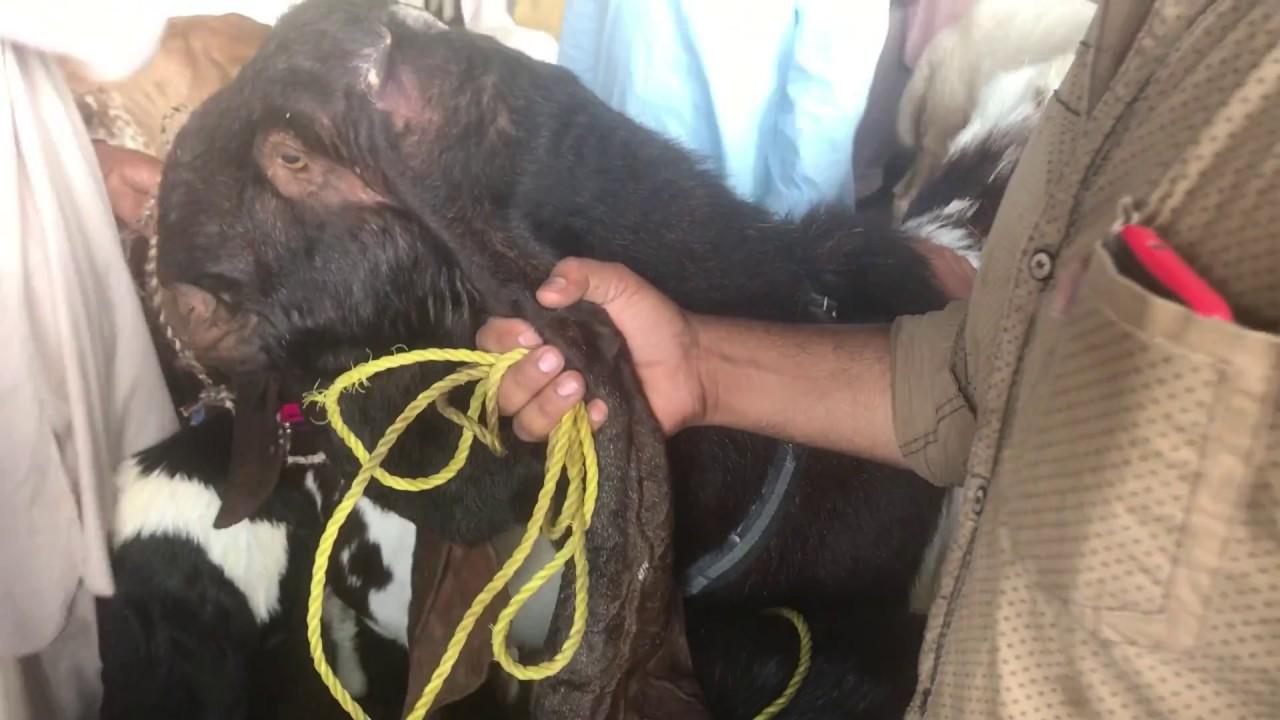 Big Giant Kamori Bakra (Male Goat) for SALE | Demand 45K in Lalukhet Bakra  Mandi Karachi Pakistan HD