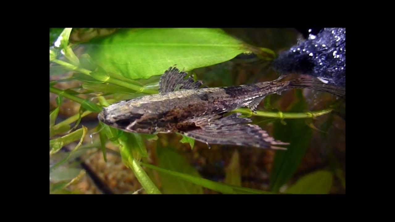 African butterfly fish youtube for Freshwater butterfly fish