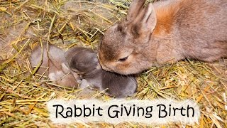 Download Video Rabbit giving birth to four kittens (kits) MP3 3GP MP4