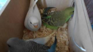 Ручные птенцы волнистых попугаев!