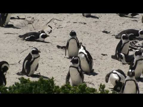 African Penguin Colony - Simon's Town