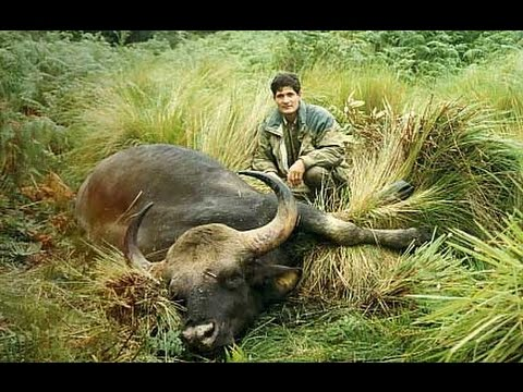 """Old days in Indochina"", Seladang (gaur) hunting"