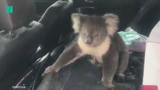 Koala Refuses To Leave Man's Car In Australia