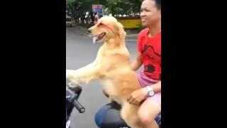 собака едет за рулем на мотоцикле