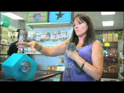 Pet Chinchilla Care Information - SmallAnimalChannel.com