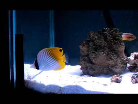 Auriga Butterfly Fish Care