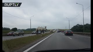 Dashcam: Camel chaos on Moscow motorway