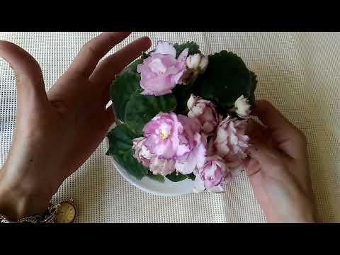 Первое цветение молодой розетки АВ Розовые Розы) Я просто обожаю этот сорт!!!