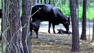 1st Baby Calf born at Eagles High Ranch