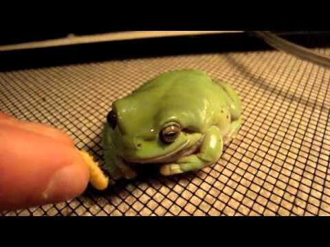 White Tree frog eats wax worms (Slow motion) - YouTube